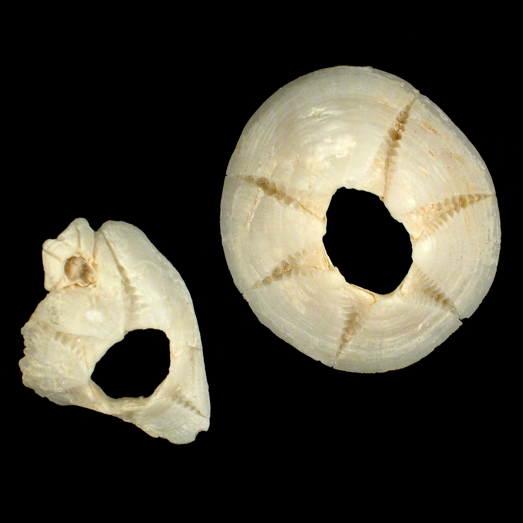 Chelonibiidae