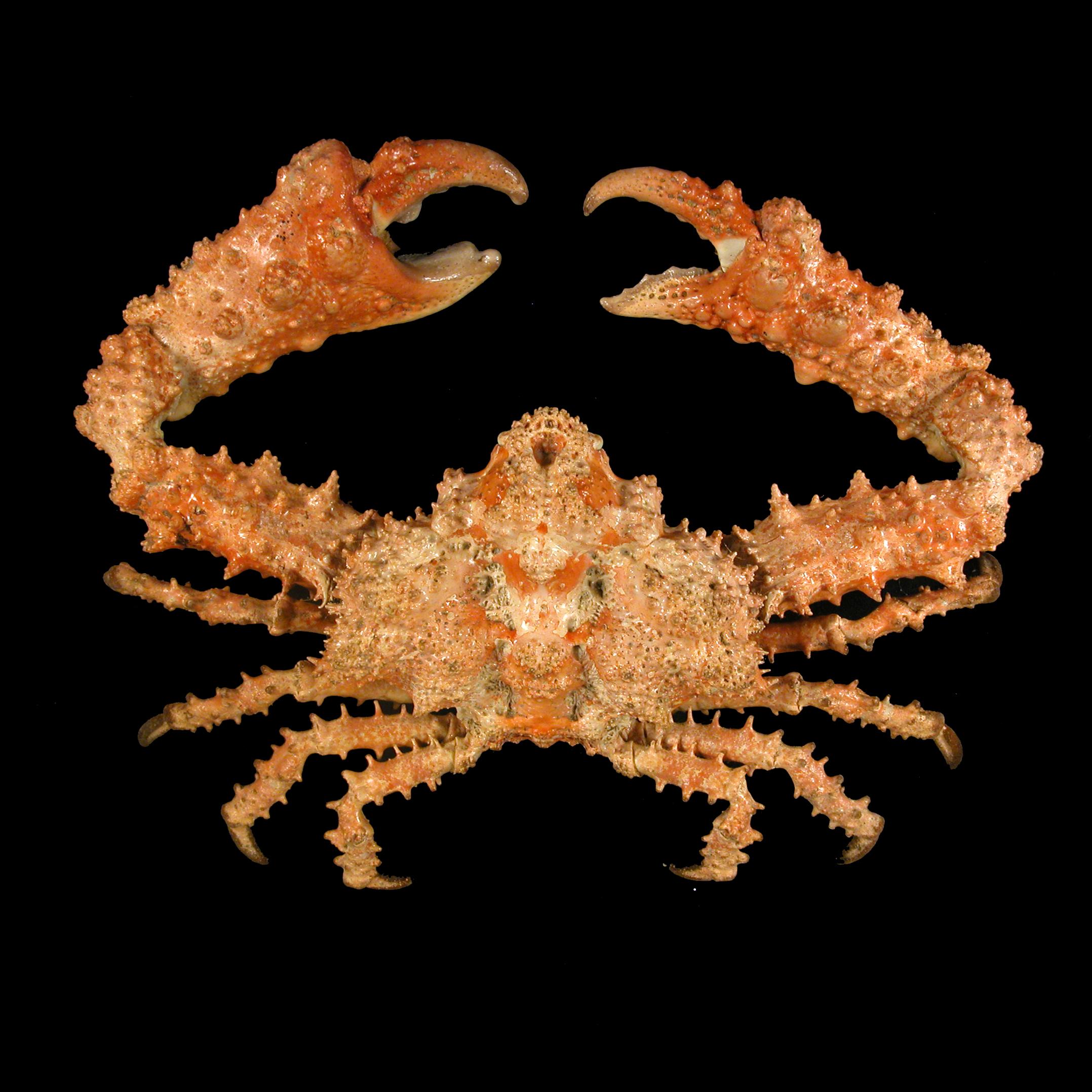 Parthenopidae