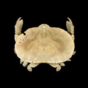 Aethridae