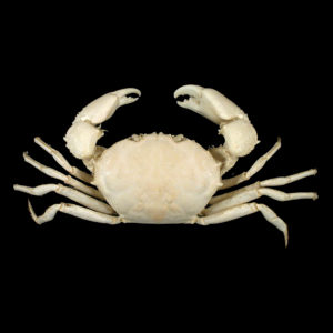 Galenidae