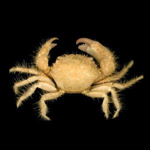 Pilumnidae