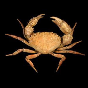 Eriphiidae