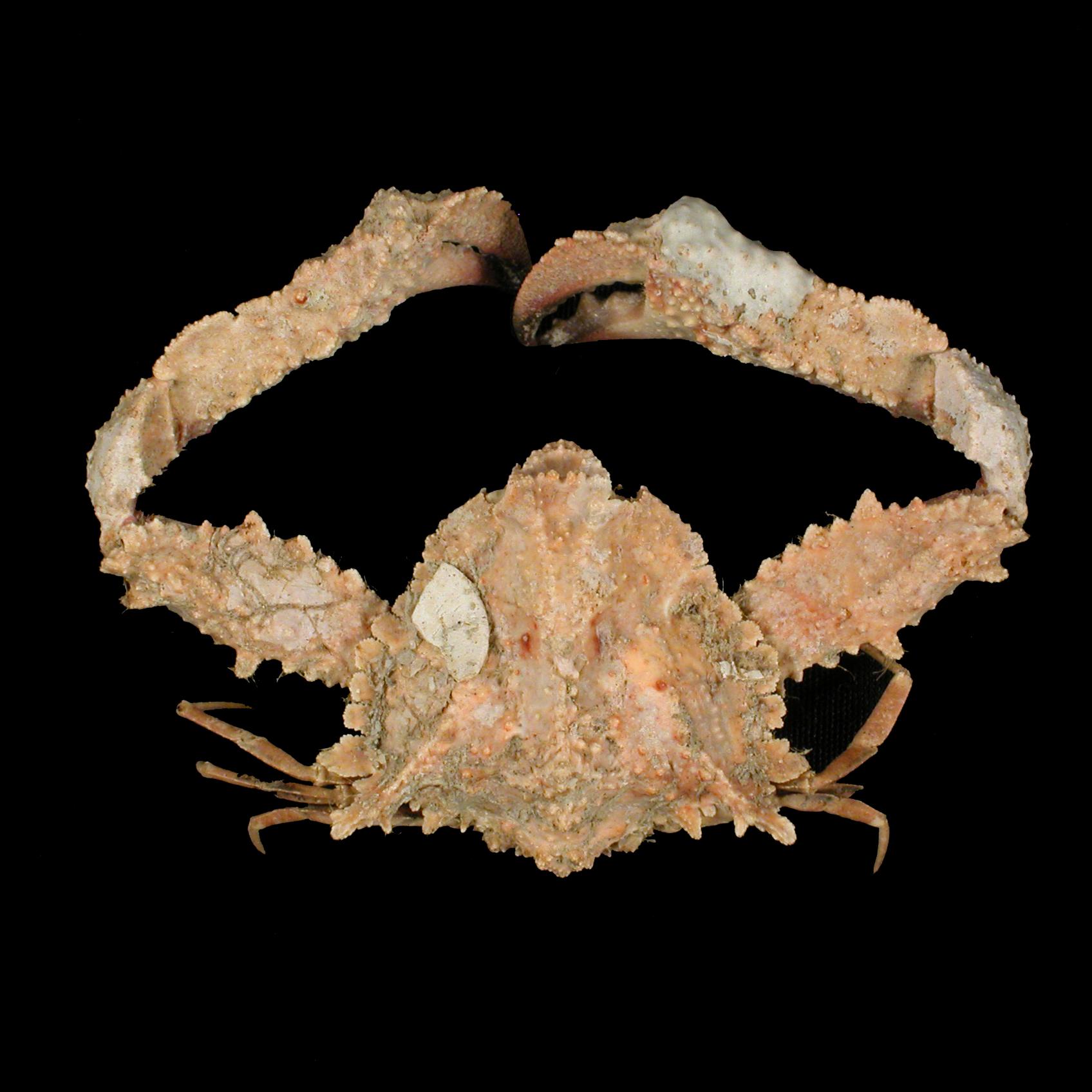 Pseudolambrus