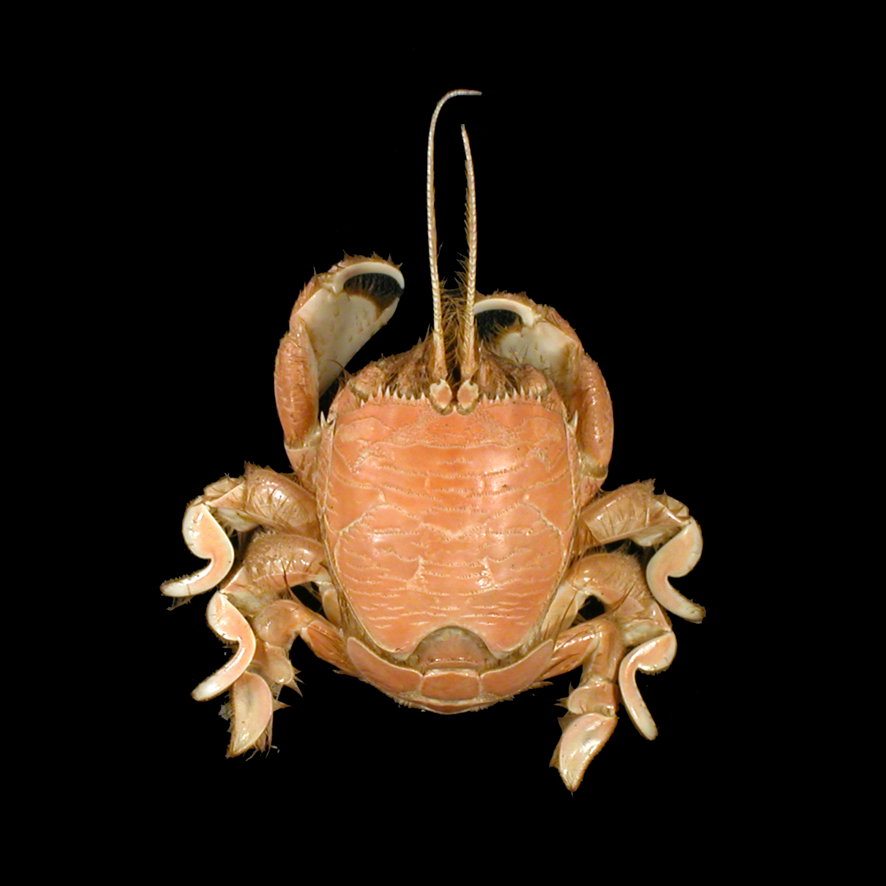 Albuneidae