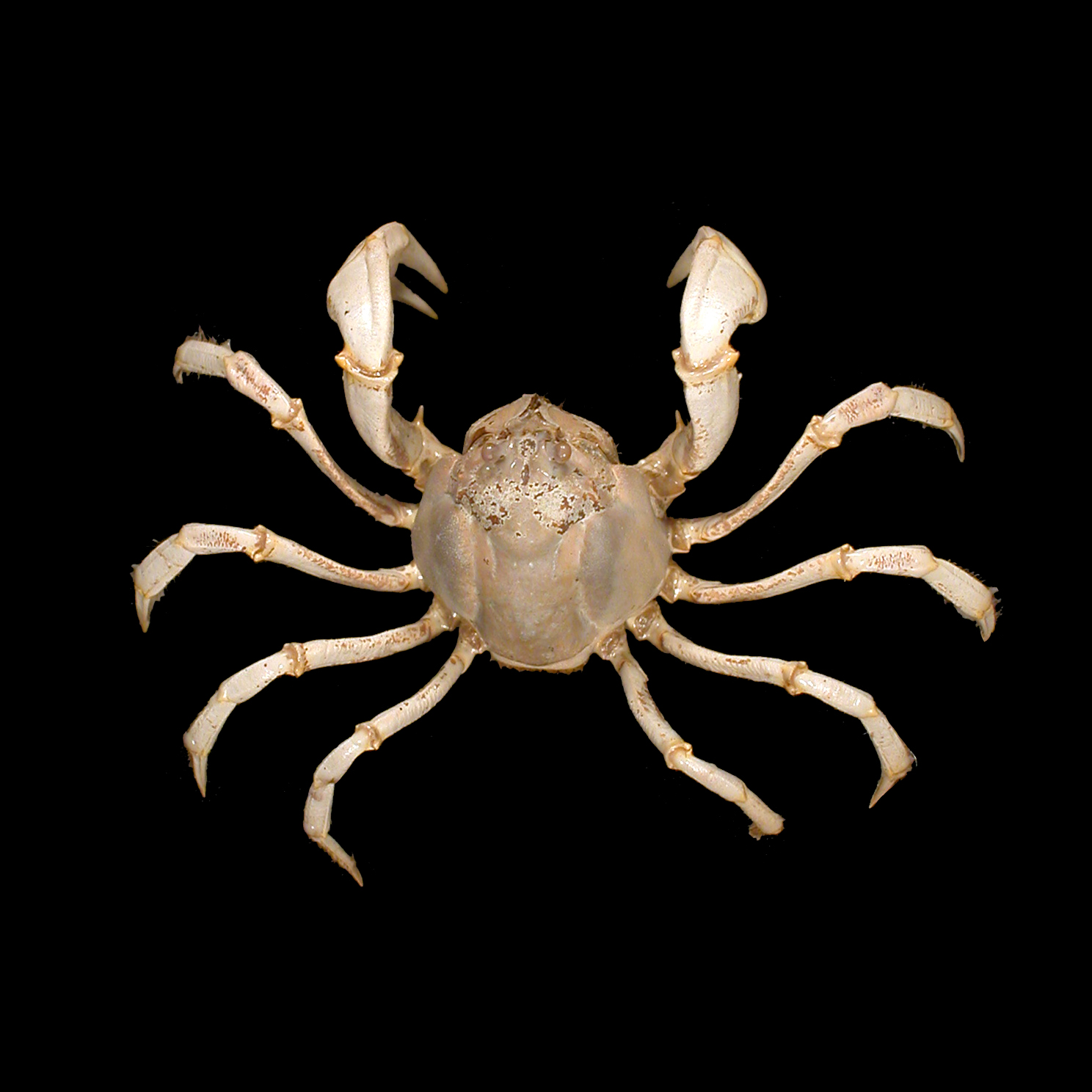 Mictyridae