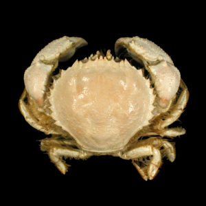 Atelecyclidae