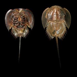 Limulidae