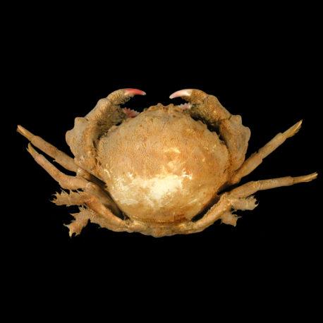 Lauridromia indica