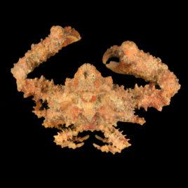 Daldorfia horrida