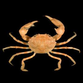 Goneplacidae species