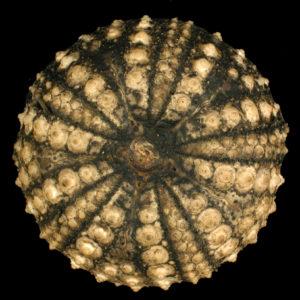 Echinothrix