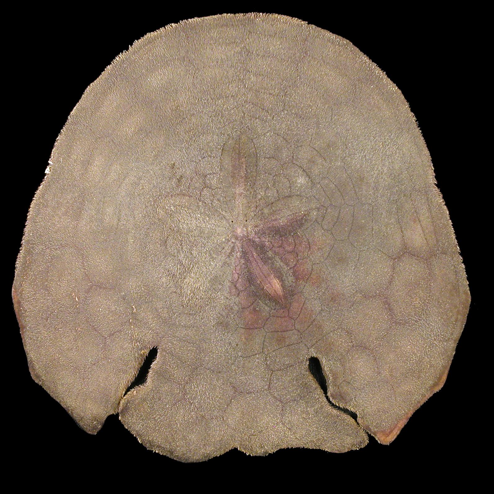 Echinodiscus