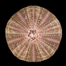 Toxopneustes pileosus Lamarck, 1815
