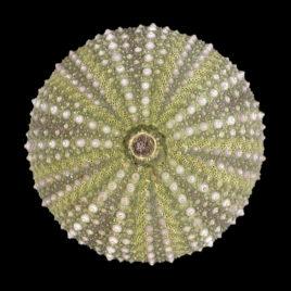 Paracentrotus lividus (Lamarck, 1816)
