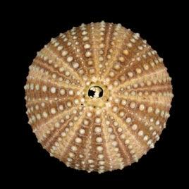 Sphaerechinus granularis Philippi, 1845