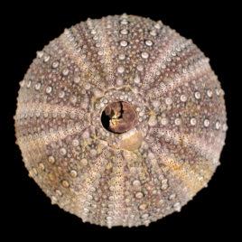 Pseudoechinus magellanicus (Philippi, 1857)