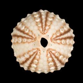 Arbacia punctulata Lamarck, 1816