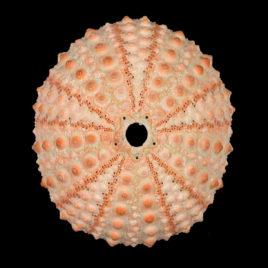 Echinometra mathaei (de Blainville, 1825)
